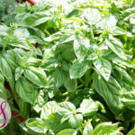 Basil-Growing Tips